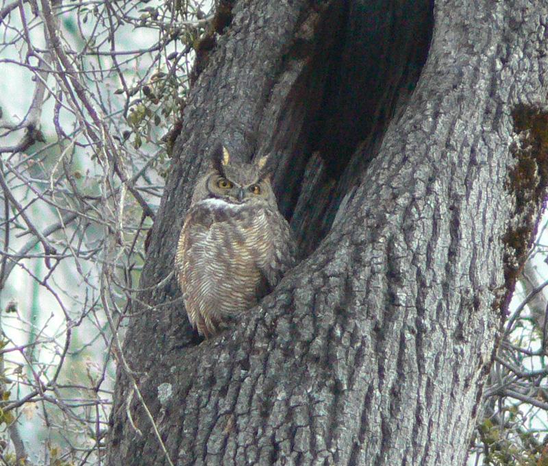 great horned owl at lower yosemite falls april 2006 yosemite