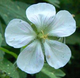 Geranium richardsonii flower closeup