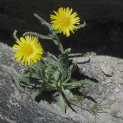 Alpine Gold on Mount Conness