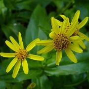 Arnica longifolia flower detail