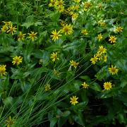 Arnica longifolia, whole plant