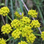 Green stink bug on lomatium