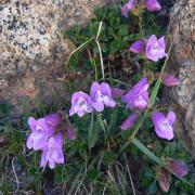 Alpine Penstemon, full plant