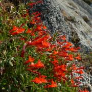 Scarlet penstemon, full plant