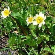 Marsh marigold, full plant