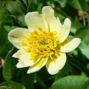 Marsh marigold, detail