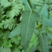 The eponymous leaves
