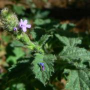 Verbena lasiostachys, leaves and flower