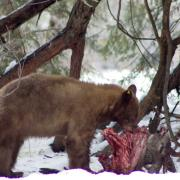 Bear eating deer carcass