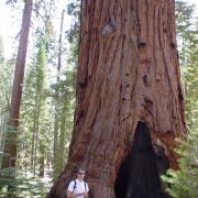 Random sequoia
