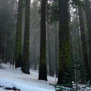 Red fir forest near Glacier Point