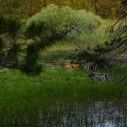 deer in thicket by river