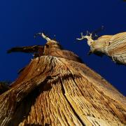 Weathered lodgepole pine