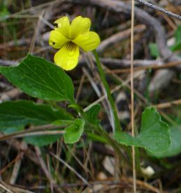 Viola pinetorum in Hite's Cove