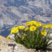Alpine Gold on Conness Plateau