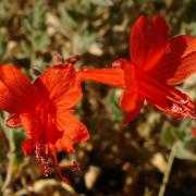California fuschia, flower detail