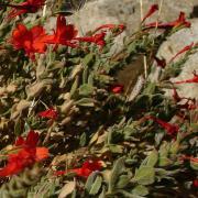 California fuschia, full plant