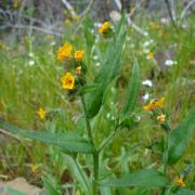Common Fiddleneck, full plant