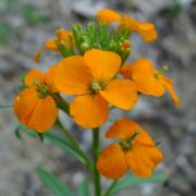 Western Wallflower