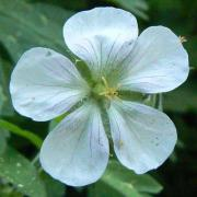 Geranium richardsonii flower closeup