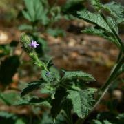 Western Verbena, leaves and flowers