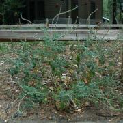 Western Verbena, full plant