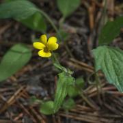 Pine Violet, entire plant