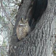 Great Horned Owl by Lower Yosemite Falls