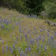 Profusion of Lupines