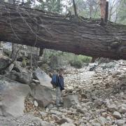 Huge fallen tree